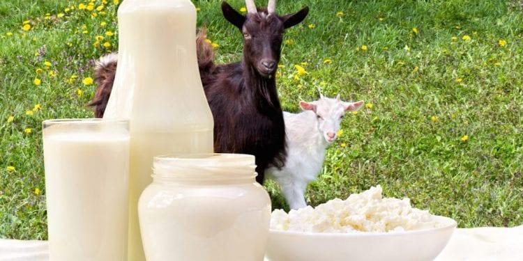 Kozje mlijeko najveći je zaštitnik vašeg zdravlja