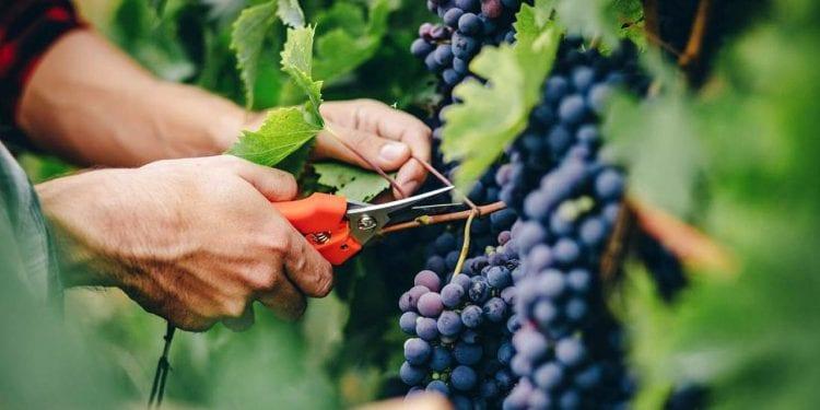 Grožđe sadrži esencijalne sastojke koji oporavljaju naše tijelo i čuvaju zdravlje